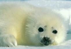 harp-seal-baby